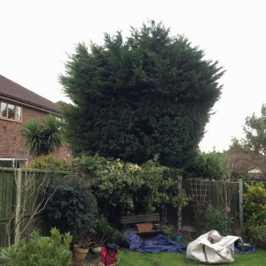 Conifer before crown reduction, Benfleet (640x640)