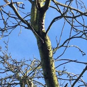Cushion fungus along trunk