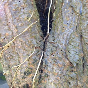 Evidence of ivy, possibly screening problematice included bark