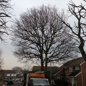 Oak with TPO prior to Crown Reduction carried out