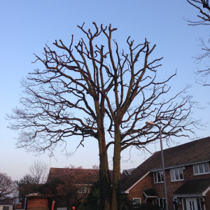 Opposite view of Crown Reduction completed on Oak with TPO