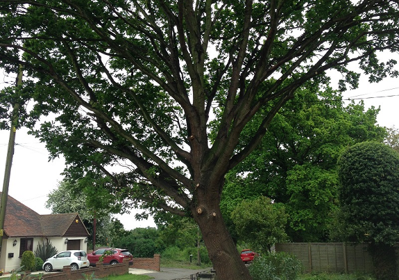 Oak after crown thinning