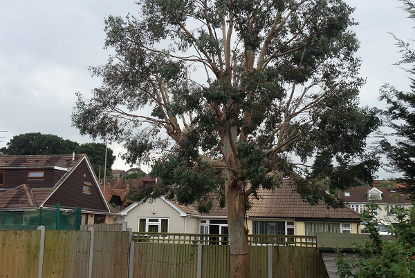 Eucalyptus reduced and various shrubs removed