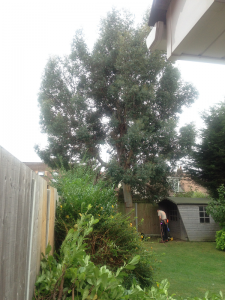 Eucalyptus prior to reduction & shrubs before their removal.