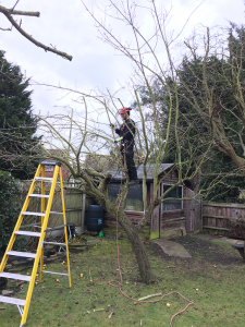 Crown clearance of Apple tree